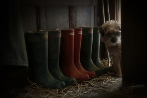 boarder terrier in boot room with hunter boots & barbour