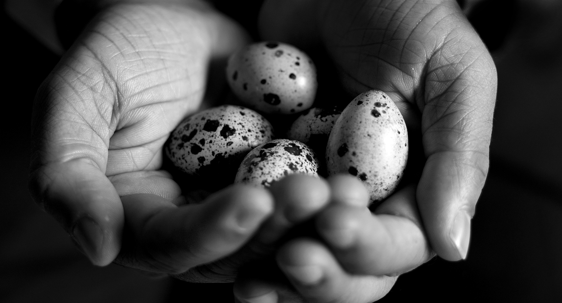 quails eggs in hands